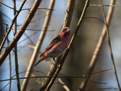 Purple Finch, male. We have three males and seven females currently living here. This is the most colorful male in the bunch.  Oly E510, ZD50-200 & TC1.4 Teleconverter
