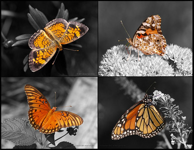 Orange on Black and White. Post-processing done with Paint Shop Pro for Photoraphers XI. Clockwise from top left: Pearl Crescent, American Painted Lady, Gulf Fritillary, and Monarch. Originals photographed with the Olympus E330 and ZD50-200/EX25 combination, except the Pearl Crescent which was photographed with the Olympus E330 and ZD35/TC14 combination.