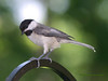 Black-capped Chickadee.<br /> Oly E510, ZD70-300