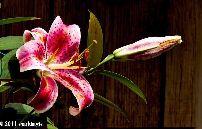 June 26, 2011-This is I believe a Hybrid Oriental Lily Scheherazade, that my neighbor across the street is growing. This is the yard I get most of my bird shots from. (Day 177:365 @sharkbayte)<br /> <br /> Thank you so much for all the comments and well wishes, all very much appreciated, you all are so great! I wish I was a better patient, but I get bored quickly. I stayed up a bit too much yesterday and paying for it today. So I'll try to keep a low profile today. Hope everyone is having a wonderful Sunday.