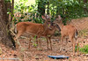 July 5, 2011-Family love. I watched the mother deer and her daughter eating for about 10 minutes. The son was off across the street eating, as soon as he came into the yard, I got to watch the most beautiful thing.  The mother deer started licking (grooming) both siblings and vice versa, this went on for several minutes. After each had a turn and were satisfied they met up with the two other deer that stand watch and proceeded deeper into the woods. (186/365)<br /> <br /> Thank you for all the comments on shot of the gang, they were all so excited to read them!