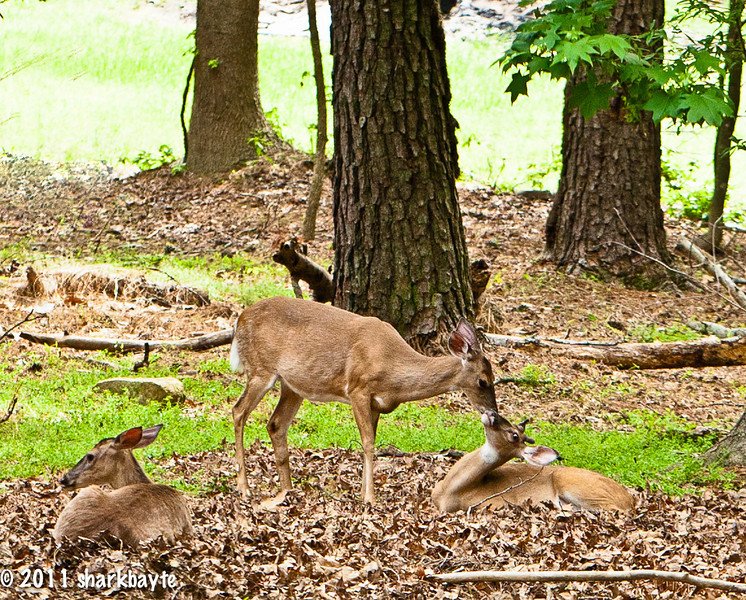 May 8, 2011-You're never too old for your Mom's love. Here is the Mom kissing (okay cleaning) her sons face and eventually his ears. The sister sits watching. These three sleep in the yard at night. I have been watching them since I moved here last year. Surprisingly the son hasn't left and both the mom and the sister are pregnant. Happy Mother's Day!! (Day 128:365 @sharkbayte)