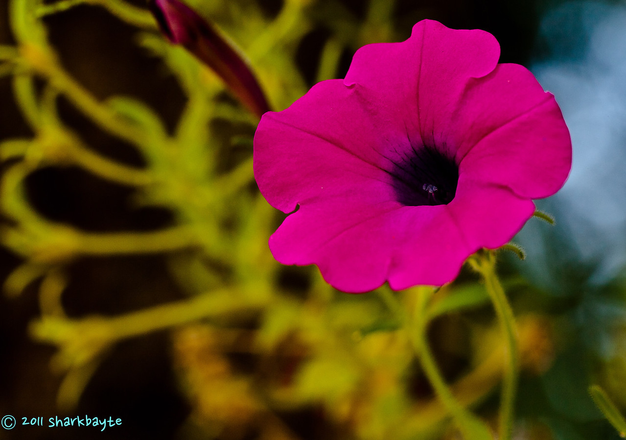 August 23, 2011-This petunia caught my eye, as I went to take a few shots the wind picked up. I waited for the wind to stop as soon as I focused the wind picked up again. This went on for a while, I swear it was as if the wind knew exactly when to blow. (235:365) Posting very late today, thanks for the comments on my shot yesterday, some of them really cracked me up! And no they better not paint it pink either!
