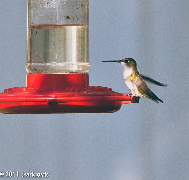 May 16, 2011-Ready to leave. As I was rolling through the neighborhood I spotted this humming bird drinking from this feeder. It's the first time I shot a humming bird. Boy are they quick. He was gone as soon as I shot this. I am hoping to return to this feeder and watch for more hummers. (Day 136:365 @sharkbayte)<br /> <br /> Thank you so much for all the comments, help and information on my photo yesterday. I love watching clouds and capturing them.