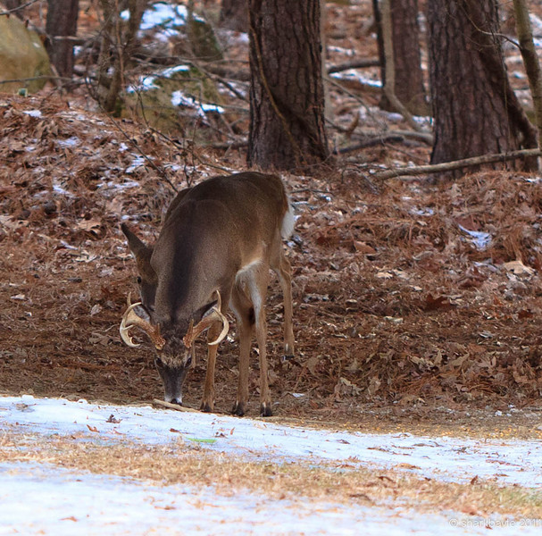 "These two bucks were in the yard today, together at the same time! The smaller deer hidden behind the older male is a button-buck. The button-buck is always here with his mother and a several other does. They were out of frame for this shot. It was nice to see the ""New Family"" for the first time.  Day 15:365 @sharkbayte #365Project"