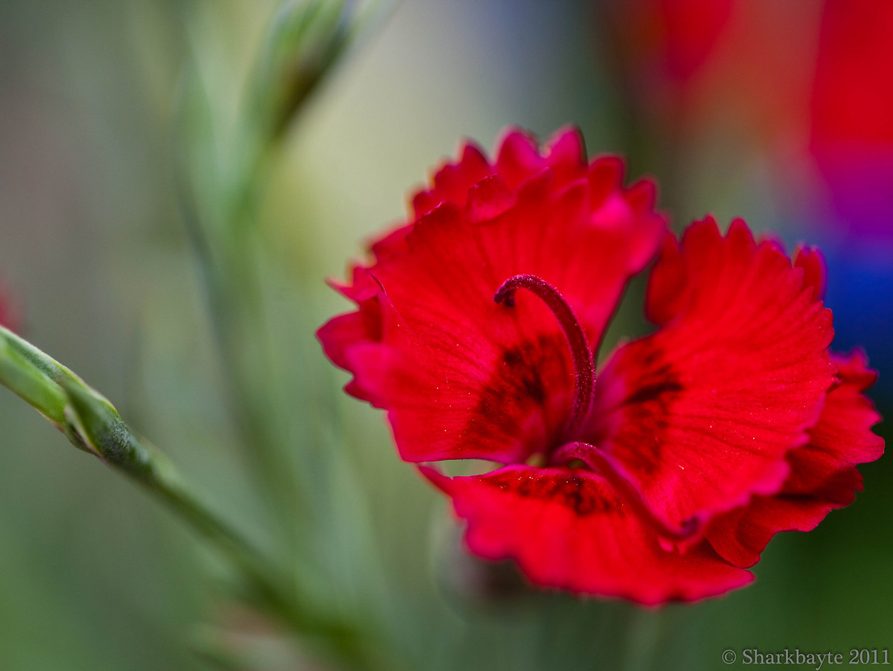 March 22, 2011-Got these Fire Star Dianthus for the yard yesterday. Can't wait to plant them and get the garden started. 81:365 @sharkbayte