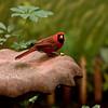 The Cardinal (1/19/2011)