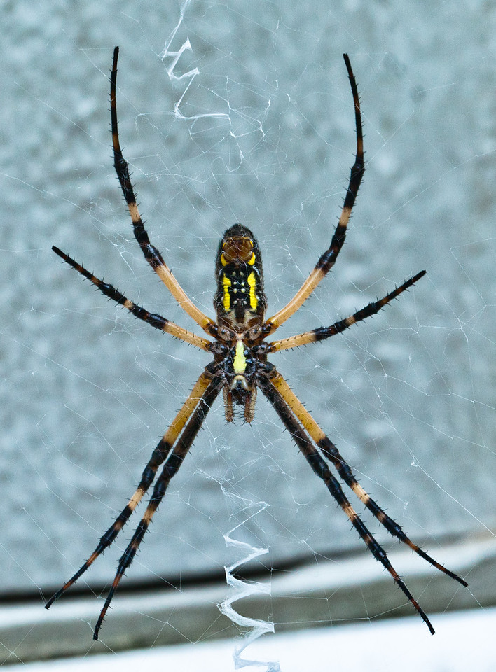 July 19, 2011-This is the ventral view of a Black and Yellow Argiope - argiope aurantia. They are also called Golden Orb weavers, Writing Spiders or Garden Spiders. My neighbor called me to come grab a shot of it. She wanted me to see the top of it or rather it's dorsal side. So, she moved the web, the spider ran/jumped down and I was out of there. Nothing really phases me or scares me but put a spider in my personal space and my heart stops, my throat seems to clamp shut and when I get my voice back, my voice goes ultra soprano, my wheelchair can't move fast enough and I need to change my shorts. That was the end of my day outdoors, thank you very much. What did my neighbor do? She laughed the entire time!! On the ground, rolling around laughing! That's okay, wait until she sees a snake in the yard... (200:365)<br /> <br /> Thank you for all the comments on my buck shot yesterday!