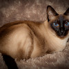 Isabel (1/3/2011)<br /> This is Isabel our 12 year old Siamese cat. I think she has appeared only once before in my dailies. Like most cats, she loves snuggling, long naps, boxes, play time and cat treats.  Can you tell she doesn't like her picture taken?<br /> <br /> I hope everyone has a great Monday.<br /> -Bob