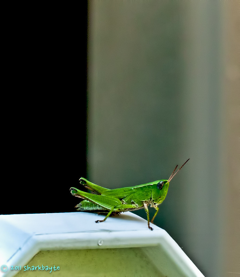 August 18, 2011-Just a quick shot of this grasshopper deciding on which of my tomato plants to land on. He moved on quick as soon as I tried to refocus on him. (230:365)<br /> Thanks for all the comments on my shot yesterday.