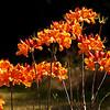 Orange Flowers In the Park  (6/7/2011)