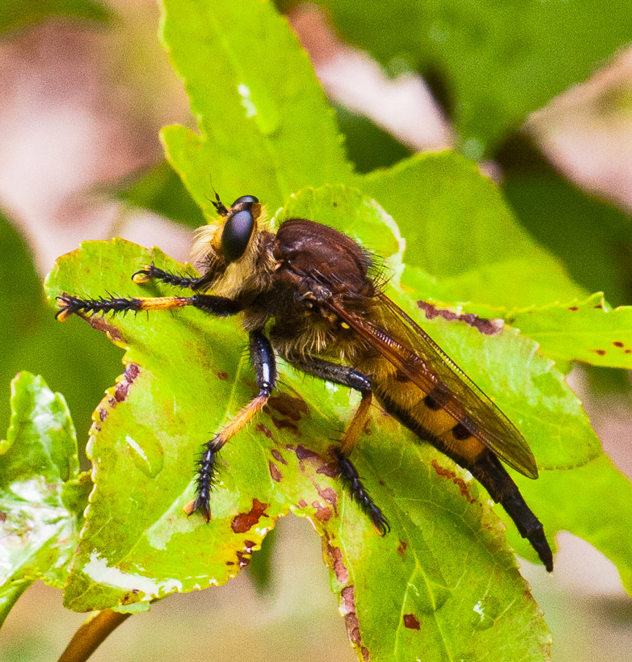 "August 3, 2011 - This is a Giant Robber Fly ""Species Promachus rufipes Red footed Cannibalfly"". He landed on the leaf above where I was shooting the red dragonfly, he seemed to be checking out what was going on, I snapped this and he took off. (215:365)<br /> <br /> Thank you for all the kind comments on my dragonfly shot yesterday, much appreciated. I am sorry I tried to comment on everyone's pictures but sleep took over. I will try again today."