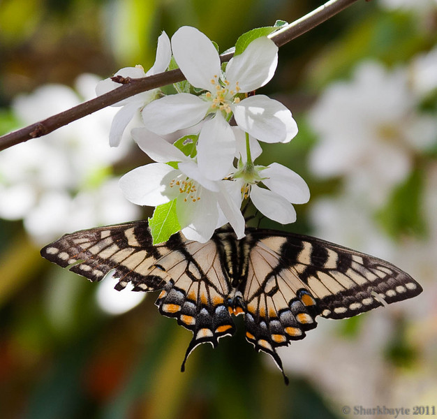 March 23, 2011-Eastern Tiger Swallowtail-Papilio glaucus. My first butterfly of the season! Spotted him while shooting the crab apple flowers, I didn't see him at first but managed two shots before he flew off. 82:365 @sharkbayte
