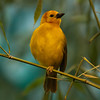 The Rare, one-legged Yellow Warbler (1/14/2011)<br /> Have a great Friday!<br /> -Bob