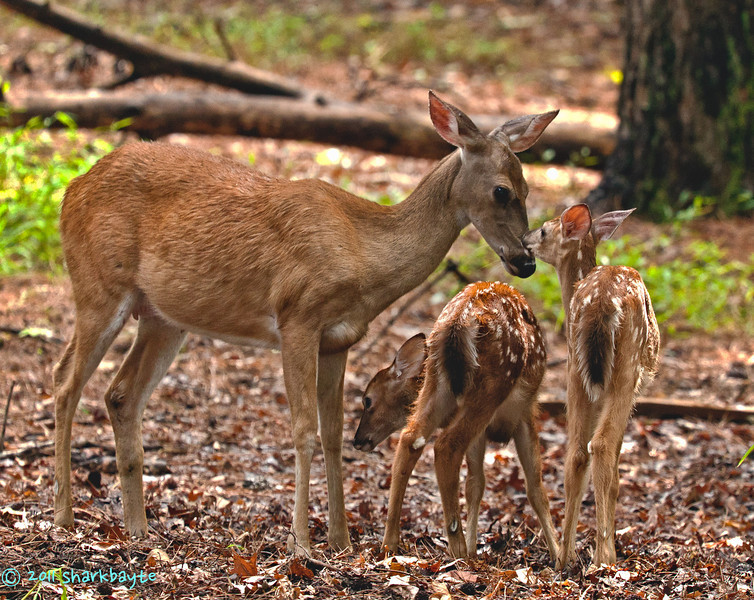 August 14, 2011 - A touching moment between the mom and her fawn. She was grooming them and then this one decided to give her some thanks back, okay a lick back, well that is how I interrupted it. Hope everyone is having a wonderful Sunday! (226:365)<br /> <br /> thanks for all the comments on my photos the past few days!