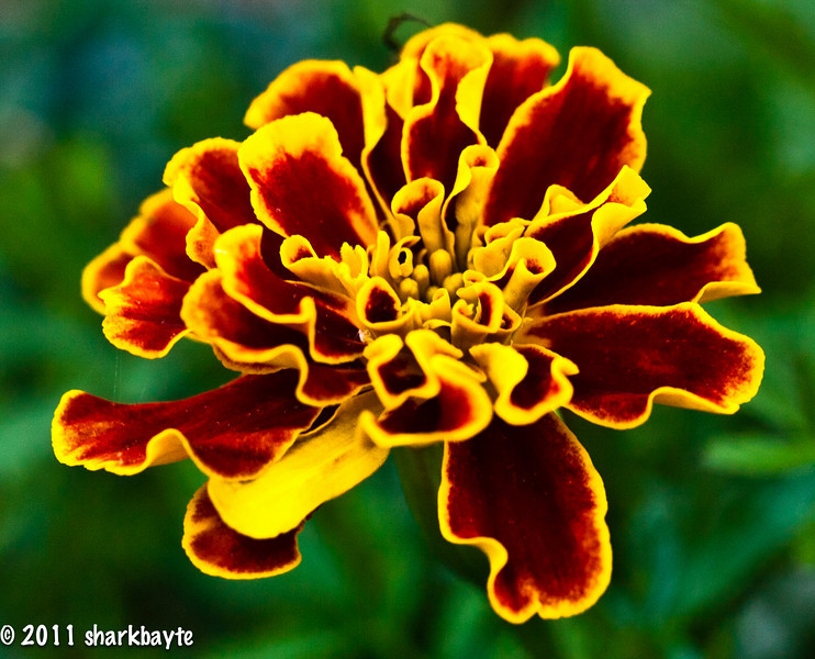May 5, 2011-A Marigold for Cinco de mayo. Well, it would be for any day actually. I am sorry for not commenting as much as I have been, I am having computer issues, I am hoping to have it resolved today or tomorrow. Also, thank you for the comments on my photos. Day 125:365 @sharkbayte)