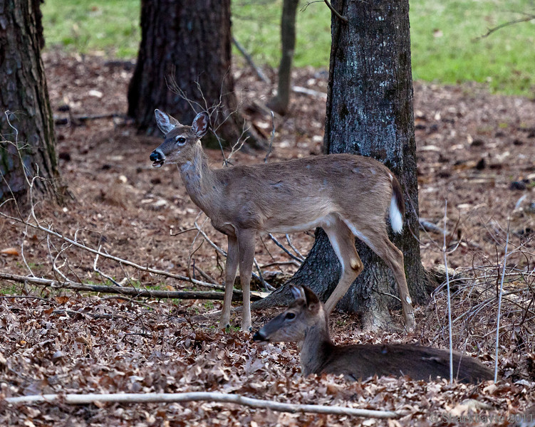 March 20, 2011-Standing guard. The deer returned last night after having been gone for a while. I was good to see them back and sleeping in the yard again. 79:365 @sharkbayte