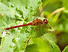August 2, 2011-I believe, this skimmer is a Cardinal Meadowhawk (Sympetrum illotum). This is the first time I have seen one of these. If you look at it in larger sizes you can see more details. I cropped a bit and adjusted the contrasts a smidgen. (214:365) Thank you for all the wonderful comments on my shot of the twins yesterday, I truly appreciate it! I tried to comment as much as I could and hope to be able to do so again today.