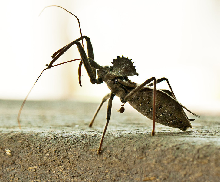 July 27, 2011- On attack mode, or at least it looks like it to me. This is a wheel bug like I had shot the other day. (208:365)<br /> <br /> Thank you so much for all the birthday wishes and comments on my picture yesterday. Sorry I didn't get to comment on yours, but will try to get to get back to comment on yours later today if all goes okay.