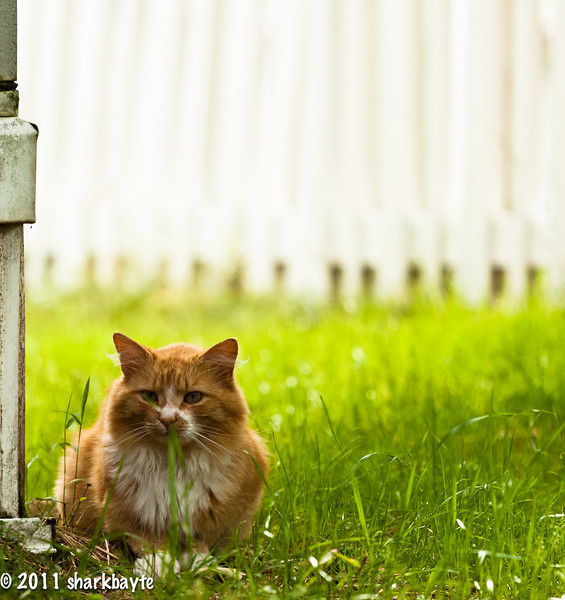 May 12, 2011-Wild cat, this is Bobby, one of about thirteen cats that live next door. This guy is full of mischief, here he is on a break from some of his antics, just sitting there looking all innocent I'm on to you buddy. (Day 132:365 @sharkbayte)