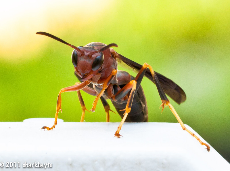 "June 22, 2011-This is a Paper Wasp, Polistes fuscatus (Fabricius, 1793). I believe I have the correct species as there are many color variations. Found him sitting on the fence post as I was checking the garden out. First time I had one sit long enough for me to take it's picture and without me getting chased off. (What that translates to is: I had the chair in reverse and took off like a scaredy-cat) (Day 173:365 @sharkbayte)<br /> <br /> thank you for all the wonderful comments on my Flesh Fly shot yesterday, I truly appreciate it. For those that asked the lens I used yesterday as well as today is my favorite, it hardly leaves my camera it's the canon ""EF 100mm f/2.8L IS USM MACRO"""