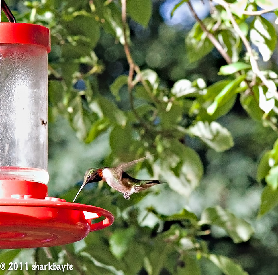 June 3. 2011-This is a male Ruby-throated Hummingbird, I finally captured him. (Day 154:365 @sharkbayte)<br /> <br /> thank you for all the comments and suggestions on my photo yesterday.
