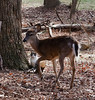 March 5, 2011-Bambi and Thumper, well not quite, this cat and the deer are used to each other. I have seen the cats walk through the center of the deer herd as they are foraging for food. The deer sometimes get startled if the cats chase each other but not enough fright to flee. (Day 64 #365project @sharkbayte)