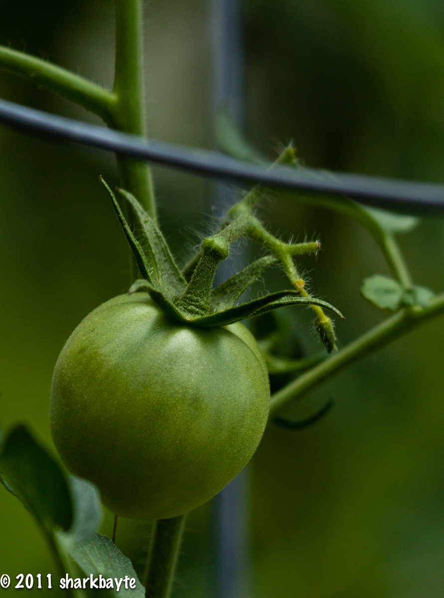 July 11, 2011-One of the tomatoes in my garden. I thought the color was neat. (192:365)