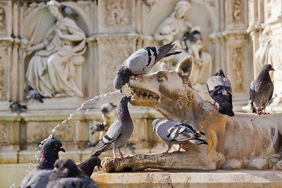 "Dogs and Birds of Siena (Fonte Gaia - ""Fountain of Joy"") 11/15/11"