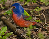 Week 2, Entry 2:  Male Painted Bunting in Boy Scout Woods in High Island, TX.