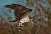 Week 1, Entry 1:  Osprey with fish from the little bay between Todville Road and Hwy. 146 in Seabrook, TX.