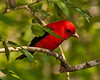 Week 3, Entry 2:  Male Scarlet Tanager in Boy Scout Woods Bird Sanctuary, High Island, TX.