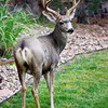 9/1/11: Buck in neighbor's yard; shot with Canon EOS 50D and EF 135mm lens