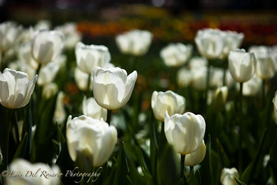 Every year, during spring, Canberra puts up this beautiful flower festival.