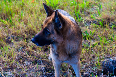 A portrait of a German Shepherd.