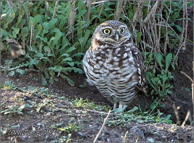 Local Burrowing Owl