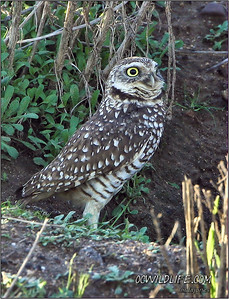Burrowing owl at our local canyons
