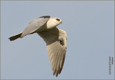 White Tailed Kite  Newport  Beach