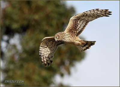 Harrier at the Back Bay