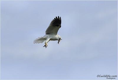 kite eating mouse midair