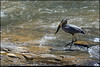 """(8Apr11)  lunch time, sweetwater creek state park.  so, for the bird experts out there, is this a tricolor heron?  <a href=""""http://carpelumen.smugmug.com/Photography/2010/April10/11696745_oPfad/2/831226371_cushs/Medium"""">one year ago.</a>  f/11, 1/640s, iso 800."""
