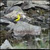 "(29Aug11)  watering goldfinch.  <a href=""http://carpelumen.smugmug.com/Photography/2010/August10/12776042_cspbks/1/987967589_9AJw5/Medium"">one year ago.</a>  f/11, 1/640s, iso 640."