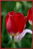 "May12 2011 Red<br /> <br /> By now you're thinking I'm posting too many tulips.  I can't help myself. :-) I shot some other stuff yesterday  <a href=""http://arthill.smugmug.com/Photography/May-2011/16873679_djHLJ8#1288072837_ZZRCQQF"">http://arthill.smugmug.com/Photography/May-2011/16873679_djHLJ8#1288072837_ZZRCQQF</a>) too but in the end...<br /> But not to worry, the tulips are fading fast around here so at most a couple more posts.<br /> I guess I just love the variety and the subtle color blends of tulips. With so many other flowers the only difference is color.<br /> Also maybe the fact that I go all winter without a chance to shoot flowers causes me to go nuts in the spring and tulips, while not the first, are the most abundant.  Have a great day."