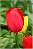 May 6 2011 Ahh, Spring<br /> <br /> Some of you encouraged me yesterday to do more tulips so here you go. :-)  I'll look for something else today but you never know.