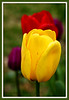May 4 2011 Colors  A few more tulips.  Hopefully the frost warning for last night didn't affect them.  What's up with that anyway - a frost warning in May?