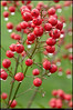 25Feb11<br /> <br /> nandina berries after the morning rain.<br /> <br /> f/9 1/60s, iso 250.