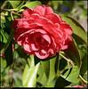 "(27Feb11)  camellia in bloom.  <a href=""http://carpelumen.smugmug.com/Photography/2010/February10/11223017_NXk2m/1/798501620_Pknxo/Medium"">one year ago.</a>  f/10, 1/1000s, iso 800."