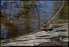 "12Feb11  sparrow, hidden pond songbird trail, reregulation dam recreation area.  <a href=""http://carpelumen.smugmug.com/Photography/2010/February10/11223017_NXk2m/1/787515420_x7sSd/Medium"">one year ago.</a>  f/8, 1/800s, iso 640."