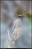 "(14Jun11)  dragonfly.  <a href=""http://carpelumen.smugmug.com/Photography/2010/June10/12412840_TbYsD/1/901733192_tf2wb/Medium"">one year ago.</a>  f/8, 1/500s, iso 640."