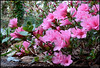 "(19Mar11)  it must be springtime...the azaleas are blooming.  <a href=""http://carpelumen.smugmug.com/Photography/2010/March10/11394055_8VU6F/1/814347689_TSkPV/Medium"">one year ago.</a>  f/11, 1/10s, iso 1250."